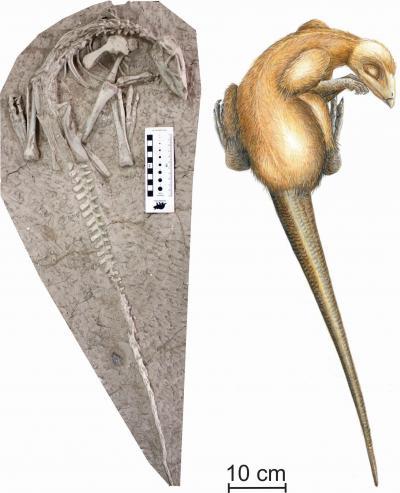 Een van de twee perfect bewaarde skeletten van Changmiania liaoningensis en een artistieke reconstructie. (Tekening: Carine Ciselet)