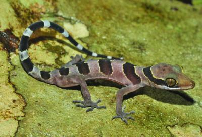 Le gecko Cyrtodactylus cardamomensis (Photo: Thy Neang)