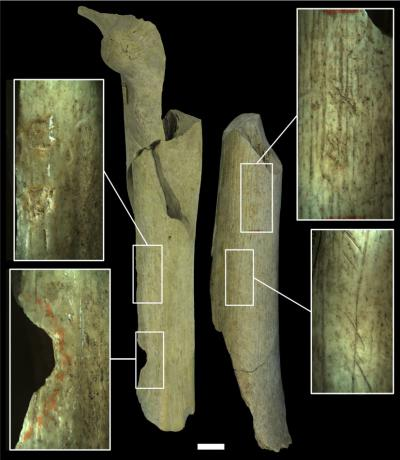 De verschillende soorten 'slagersporen' op twee neanderthalerdijbenen. Op het dijbeen links: ronde inslagen (wellicht om het bot te breken en het merg uit te zuigen). Op het dijbeen rechts snijsporen en sporen van het aanscherpen van stenen werktuigen.