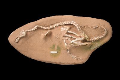 Uitstekend bewaarde fossiel van de 'waterraptor' Halszkaraptor escuilliei uit Mongolia. (Foto: Thierry Hubin, KBIN)
