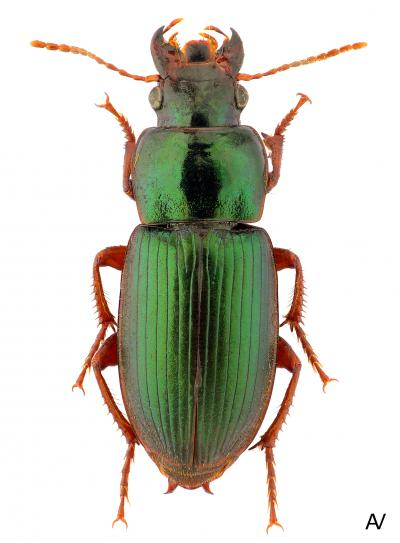 A typical city-dwelling carabid beetle: Harpalus affinis. De species tolerates higher temperatures and has long wings. (Photo: Andrey Vlasenko)