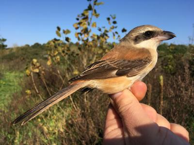 A first for Belgium: a Long-tailed Shrike, found, ringed, measured (and released) at Zwin Nature Parc. (Photo: Didier Vangeluwe, RBINS)