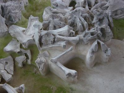 Mammoetfossielen op de Russische vindplaats Yudinovo. (Foto: Mietje Germonpré, KBIN)