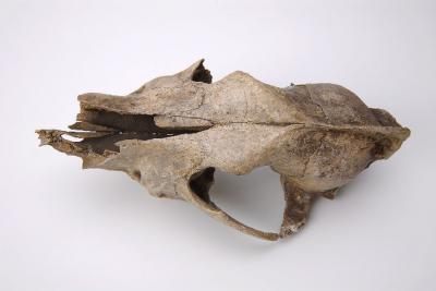 Ce crâne de chien, découvert à Goyet, est vieux de 32 000 ans. (Photo W. Miseur, IRSNB)