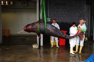 Le narval avant l'autopsie. (photo: IRSNB)