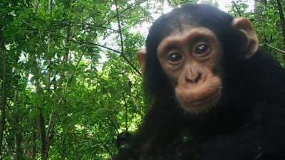 Oostelijke chimpanzee in afgelegen bergwoud in het oosten van Congo.