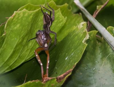 Nilus spider eating a Hyperolius argus frog at Diani Beach, Kenya (photo: Andrea Benaglia)