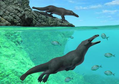 Reconstitution artistique de Peregocetus. La nageoire caudale reste hypothétique. (A. Gennari)