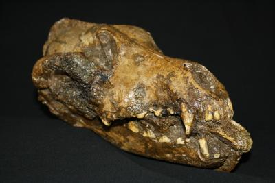Palaeolithic dog from Předmostí with a bone fragment between its teeth, from the collections of the Moravian Museum, Brno (Czech Republic). Likely the bone was inserted upon the death of the animal in the context of a ritual. (Photo: M. Germonpré, RBINS)