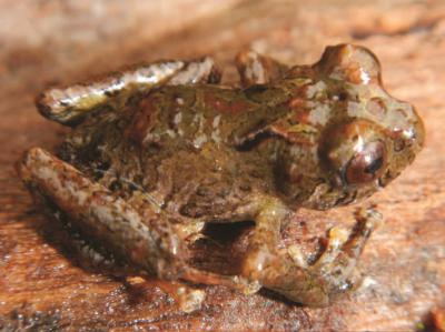 Life holotype of Pristimantis boucephalus sp. nov. in dorsal view. (Photo: Edgar Lehr)