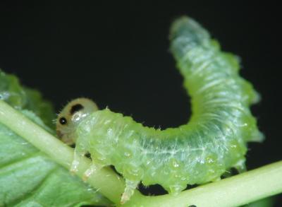 Larve de tenthrède Nematus spiraeae. En relevant son abdomen, l'insecte se tient prêt à émettre des substances volatiles défensives en cas de menace. Photo : Jean-Luc Boevé