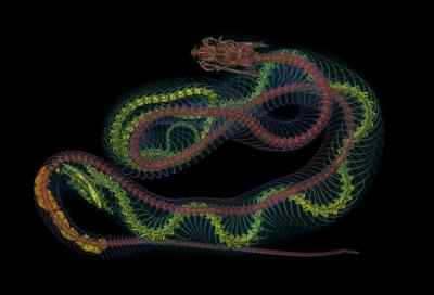Un serpent dans un serpent : le cobra Naja samarensis a mangé le rare serpent Cyclocorus nuchalis nuchalis. (Photo : IRSNB, Jonathan Brecko)