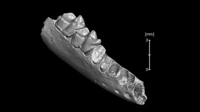 CT-scan van een kaakbeen van Teilhardina brandti. (Foto: Paul Morse, Florida Museum)