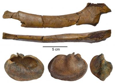 Ellepijp (ulna) en gehoorbeen (bulla tympani) van Protororqualus wilfriedneesi. (Photo: KBIN)