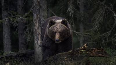L'ours brun (Ursus arctos) (photo: Per Harald Olsen)