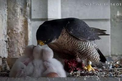 An adult Falcon nourishing the three chicks (photo: RBINS)