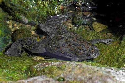 Dactylère du Cap adulte (Xenopus laevis) à Oeiras, Portugal. (Photo : M. Flecks)