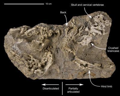 Block with perinatal specimens of Saurolophus angustirostris (Photo: Thierry Hubin, RBINS)