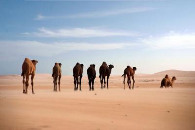 La diversité génétique des dromadaires est assurée grâce au commerce à travers les déserts. (Photo: Faisal Almathen)