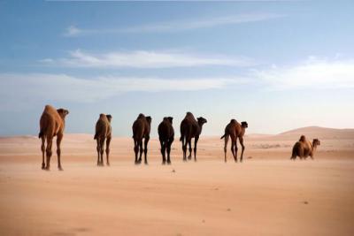 Dromedarissen in de woestijn. (Foto: Faisal Almathen)