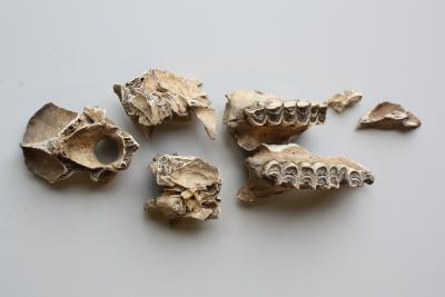 Des restes de dromadaire romain retrouvés à Tongres (Photo: IRSNB)