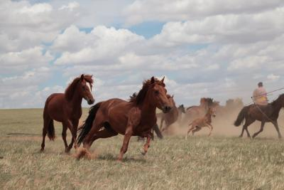 Horse herd in the steppes of Inner Mongolia, China, July 2019. (Picture: Ludovic Orlando)