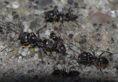 De invasieve mierensoort van de Tapinoma-groep, ook wel 'plaagdraaigatje' genoemd, in Oostende. (Foto: Thomas Parmentier, KBIN)