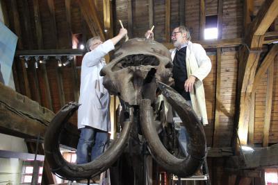 Le mammouth de Termonde en plein « toilettage ». Le squelette, qui fait partie des collections de l'Institut royal des Sciences naturelles de Belgique, est exposé au Vleeshuismuseum de Termonde depuis 1975. (Photo : Anthonie Hellemond)