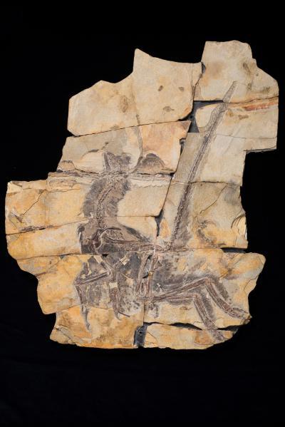 Het zo goed als intacte fossiel van Serikornis sungei. (Foto: Thierry Hubin)