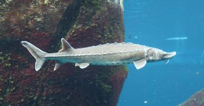 Atlantic sturgeon (Acipenser oxyrinchus) (Photo: Cephas, Wikimedia Commons)