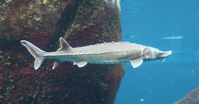 Un esturgeon qui appartient à l'espèce Acipenser oxyrinchus (Photo: Cephas, Wikimedia Commons)
