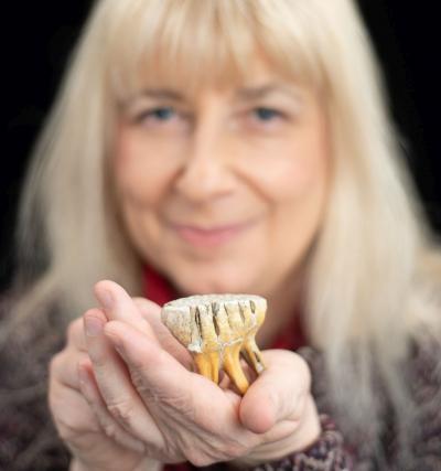 Dent de lait d'un mammoutheau provenant des grottes de Goyet. (photo: Thierry Hubin, IRNSB)