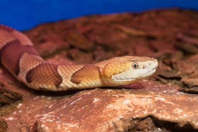 The copperhead snake (Agkistrodon contortrix). Photo: Museum/Thierry Hubin
