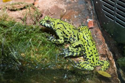 Two oriental fire-bellied toads (Bombina orientalis). Photo: Museum/Thierry Hubin
