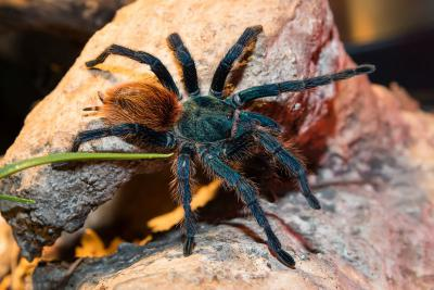 Vogelspinne Chromatopelma cyaneopubescens. Foto: Museum/Thierry Hubin