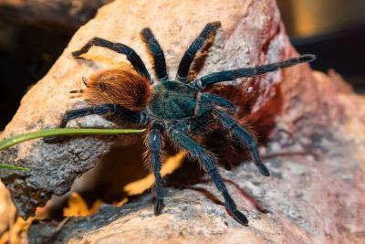 La mygale Chromatopelma cyaneopubescens. Photo : Muséum/Thierry Hubin
