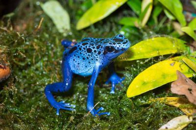 Blauer Baumsteiger Dendrobates azureus. Foto: Museum/Thierry Hubin