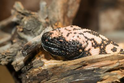 The Gila monster (Heloderma suspectum). Photo: Museum/Thierry Hubin