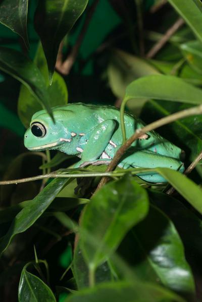 The waxy monkey (tree) frog (Phyllomedusa sauvagii). Photo: Museum/Thierry Hubin
