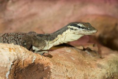 The Glauert's monitor lizard (Varanus glauerti). Photo: Museum/Thierry Hubin
