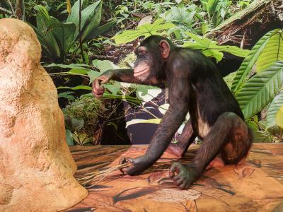 Common chimpanzee (Pan troglodytes) in the exhibition MONKEYS