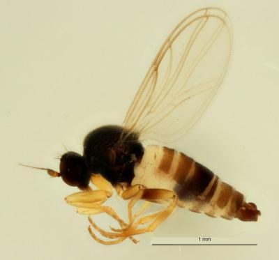 Drapetis bruscellensis, een nieuwe vliegensoort voor de wetenschap, ontdekt in Brussel (Foto: Camille Locatelli, KBIN)