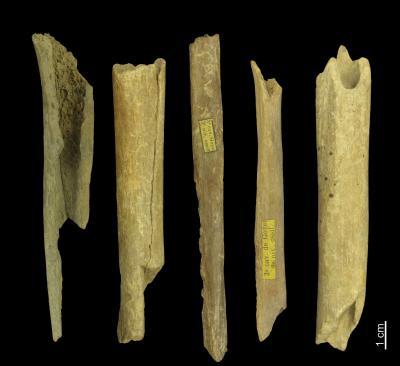 Menselijke botfragmenten uit de grotten van Goyet, tussen 27.000 en 35.000 jaar oud, en behorend tot haplogroepen M of N. (Foto: Eric Dewamme, KBIN)