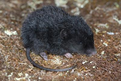 La souris Roraima (Podoxymys roraimae)