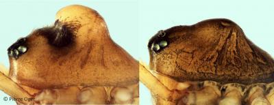 Mannetjes van de spin Oedothorax gibbosus onder een lichtmicroscoop, links met bult, rechts zonder. (Foto: Pierre Ogier)