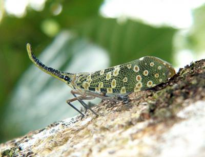 Pyrops condorinus, un Fulgoridae du Cambodge (Photo : Gerard Chartier)