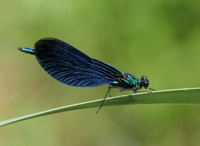 Beautiful Demoiselle Calopteryx virgo, Auderghem - Parc Seny, 23 May 2018 © Bernard Pasau