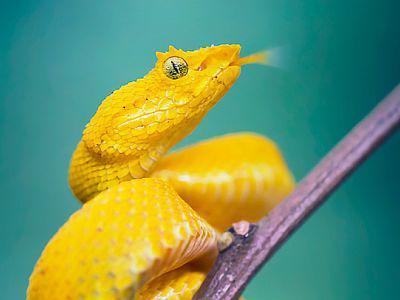 Visuel de l'exposition POISON (le serpent Bothriechis schlegelii)