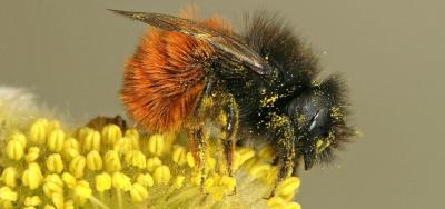 Pollinisator