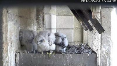 Falcons in their nest, one month old